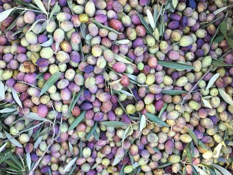Comment est fabriquée notre huile d'olive bio?