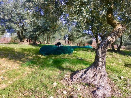 huile d'olive bio et santé