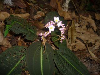 Plantas brasileiras recém-descobertas correm perigo