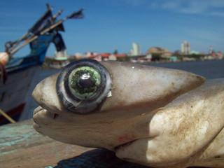 Tubarões e raias ameaçados de extinção são consumidos no Brasil