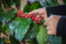 HOKU-Havaiian-coffee-Kona.jpg