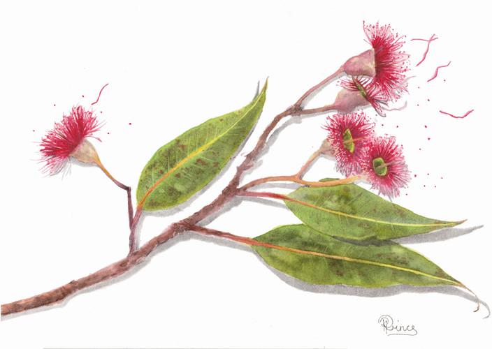 Western Australian Flowering RedGum