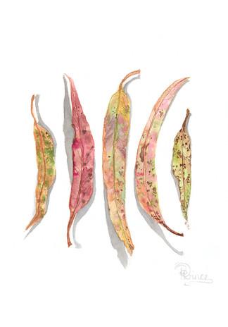 Gum Leaf Study