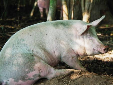 Velfærdsgrisen - det heldige svin!
