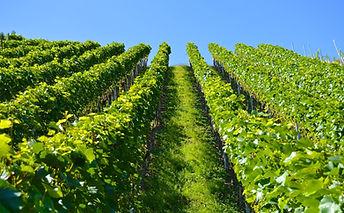 vineyard-1612092_1920.jpg