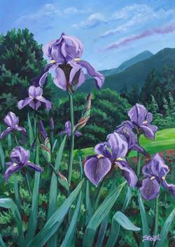 Mountian Iris