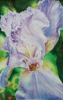 Lavender Iris