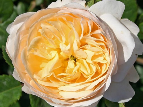 """Роза Английская кустовая """"Крокус роуз"""" Crocus Rose"""