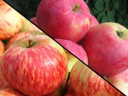 """Яблоня 2 сорта на 1 дереве """"Коричное полосатое"""" и """"Мантет"""""""