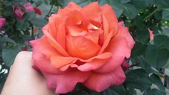 """Розы. Правила посадки и уход за розами. Летняя обрезка роз. Питомник садовых растений """"Ягодки-цветочки"""" Кольчугино и Киржач"""