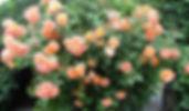 """Классификация роз. Розы Modern Shrub Модерн Шраб . Питомник садовых растений """"Ягодки-цветочки"""" Владимирская область Кольчугино и Киржач"""
