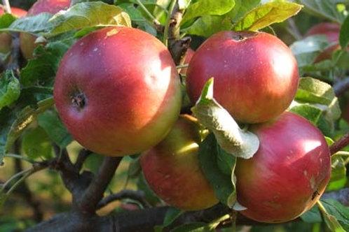 Другие сорта яблонь поступят в продажу в мае