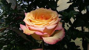 """Классификация роз. Чайно-гибридные розы. Питомник садовых растений """"Ягодки-цветочки"""" Владимирская область Кольчугино и Киржач"""