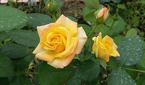 """Классификация роз. Розы мини. Миниатюрные розы. Питомник садовых растений """"Ягодки-цветочки"""" Владимирская область Кольчугино и Киржач"""