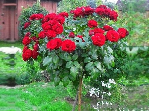 """Роза на штамбе 100 см Чайно-гибридная """"Кардинал 85"""" Kardinal 85"""
