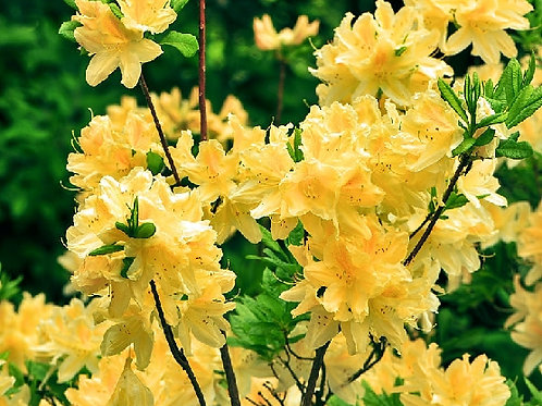 Рододендрон Японский Желтый 2л
