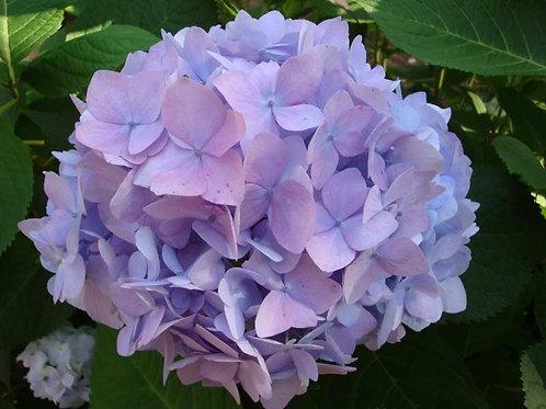 Гортензия крупнолистная Розово-голубая