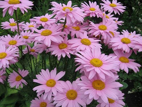 Пиретрум гибридный Розовый Pyrethrum hybridum