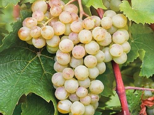 "Виноград ""Кристалл"" (выдача с июня)"
