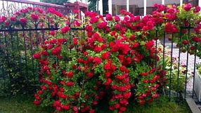 """Классификация роз. Рамблеры - Rambler. Питомник садовых растений """"Ягодки-цветочки"""" Кольчугино и Киржач"""