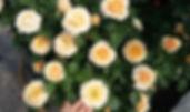 """Классификация роз. Розы Патио. Питомник садовых растений """"Ягодки-цветочки"""" Владимирская область Кольчугино и Киржач"""