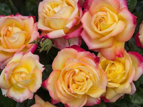 "Роза на штамбе 100 см Чайно-гибридная ""Ориент Экспресс"" Orient Express"