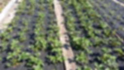 """Статья про клубнику. Посадка на черном материале. Выращивание и уход за клубникой. Питомник садовых растений """"Ягодки-цветочки"""" Кольчугино и Киржач"""