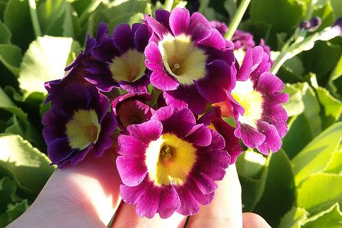 Примула ушковая Primula аuricula