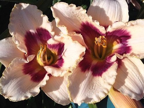 Лилейник Large flower hybrid