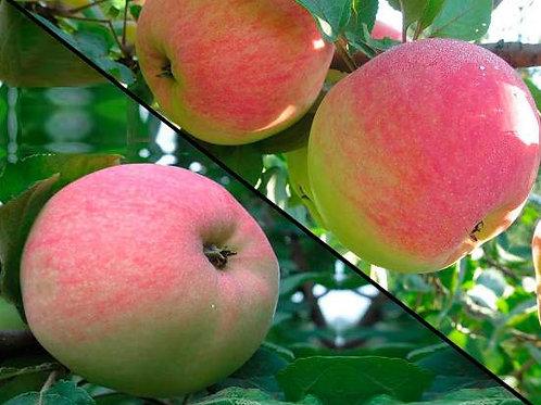 """Яблоня 2 сорта на 1 дереве """"Конфетное"""" и """"Мелба"""""""