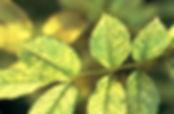 """Вредители роз. Паутинный клещик. Питомник садовых растений """"Ягодки-цветочки"""" Кольчугино и Киржач"""