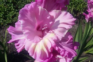 """Статья про Гладиолусы. Выращивание, уход и хранение. Питомник садовых растений """"Ягодки-цветочки"""" Кольчугино и Киржач"""
