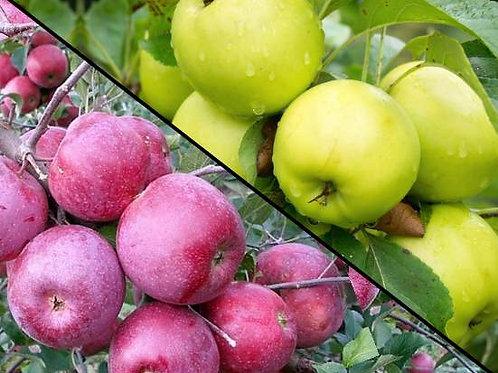 """Яблоня 2 сорта на 1 дереве """"Антоновка"""" и """"Подарок Графскому"""""""