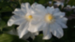 """Статья про клематисы. Выращивание клематисов. Группы обрезки клематисов. Укрытие клематисов на зиму. Питомник садовых растений """"Ягодки-цветочки"""" Кольчугино и Киржач"""