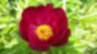 """Статья про пионы. Деление. Посадка. Выращивание пионов. Питомник садовых растений """"Ягодки-цветочки"""" Кольчугино и Киржач"""