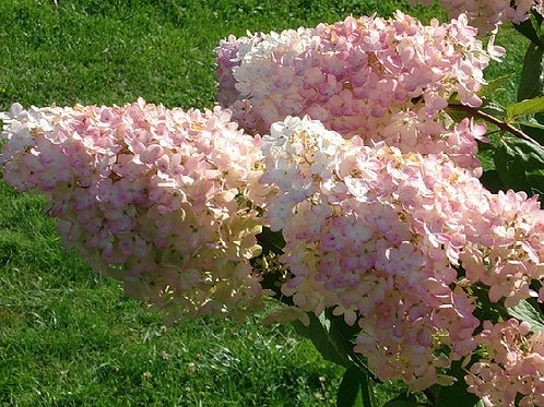 "Гортензия метельчатая ""Грандифлора"" Grandiflora"