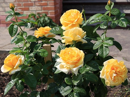 "Роза на штамбе 100 см Чайно-гибридная ""Гэби Морли"" Gaby Morlay"