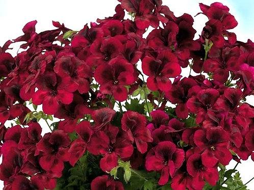 "Пеларгония Candy Flowers ""Dark Red"""