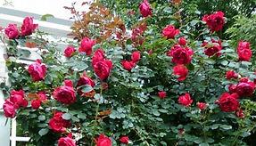 """Классификация роз. Розы Climber Клаймбер. Питомник садовых растений """"Ягодки-цветочки"""" Владимирская область Кольчугино и Киржач"""
