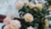 """Классификация роз. Розы Клайминг. Питомник садовых растений """"Ягодки-цветочки"""" Владимирская область Кольчугино и Киржач"""
