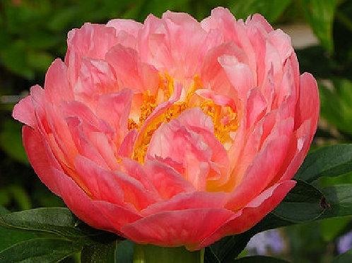 """Пион """"Пинк Хавайан Корал"""" / """"Розовый Гавайский Коралл""""  Pink Hawaiian Coral"""