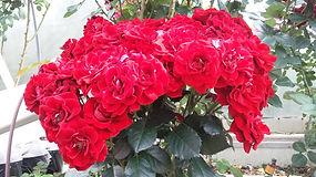 """Классификация роз. Розы Флорибунда. Питомник садовых растений """"Ягодки-цветочки"""" Кольчугино и Киржач"""