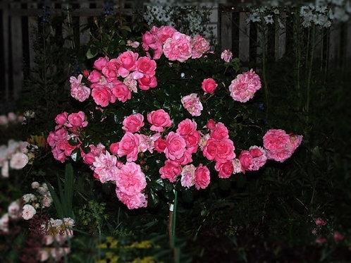 "Роза на штамбе 100 см Флорибунда ""Берлебург"" Berleburg"