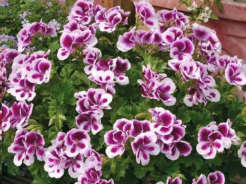 """Пеларгония Candy Flowers """"Bicolor"""""""