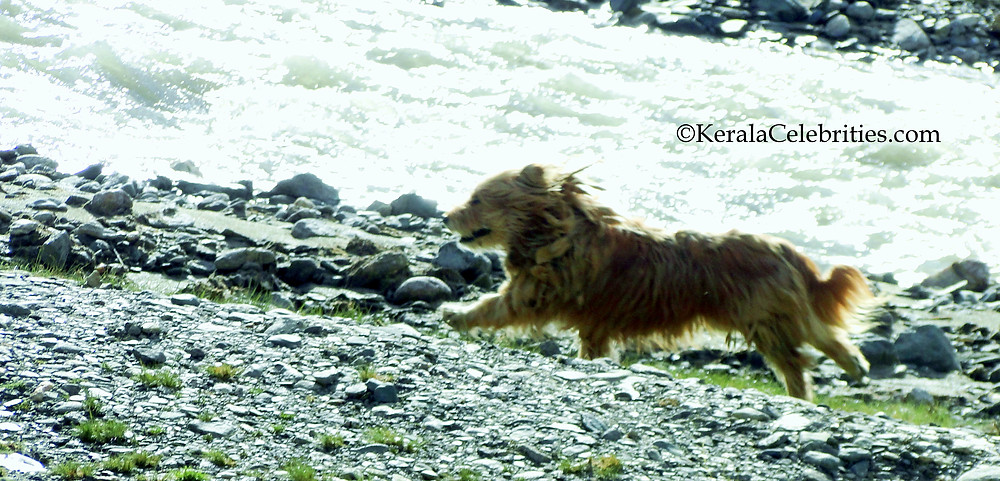 Wild Poodle at Tso Moriri