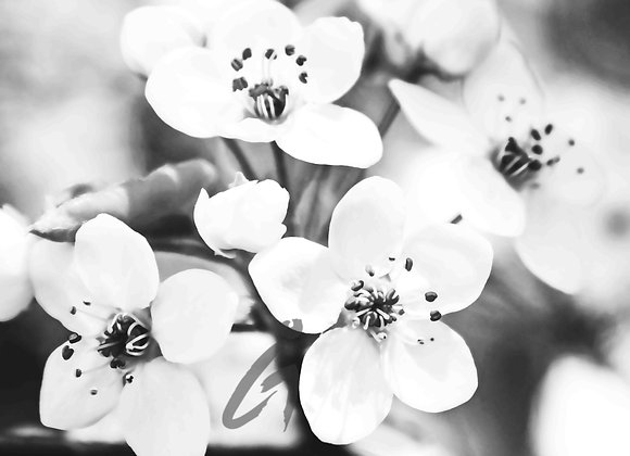 White Blossoms - BW