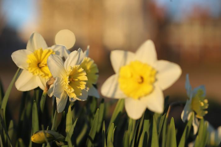 Daffodil in Profile