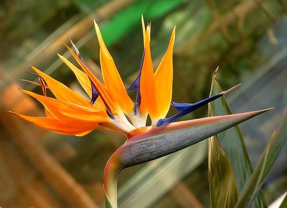 Aves del paraíso por docena