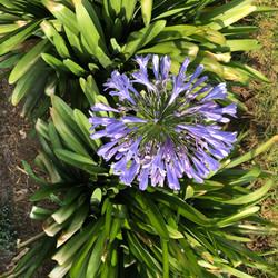 Agapando lila