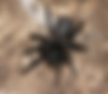 Female Funnel Web Spider